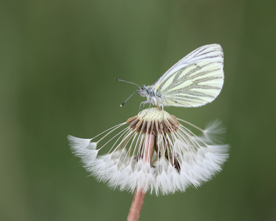Nature picture: 1. Klein Geaderd Witje