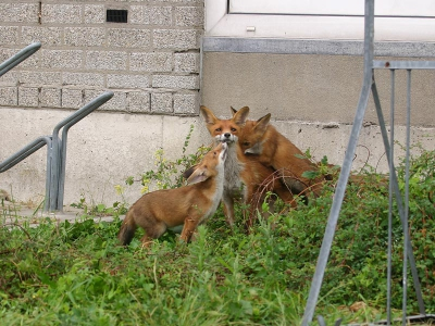 Vulpes vulpes / Vos / red Fox